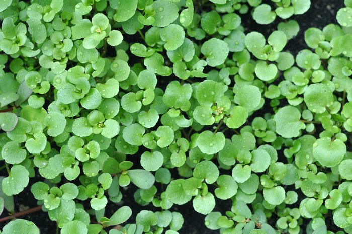 Top view watercress salad in garden on sun day