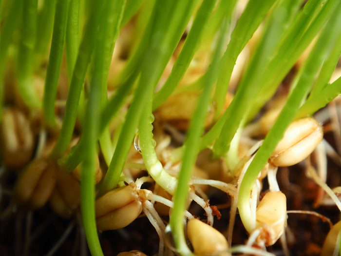 Close-up Fresh Wheatgrass plant organic for squeeze juice, Help prevent cancer and treatment red blood.
