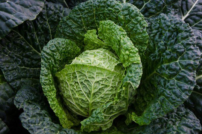 Savoy cabbage in garden.