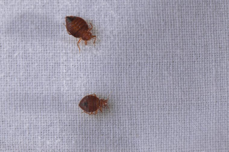Bed bugs crawling on fabric.