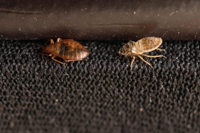 Exoskeletons of bed bugs.