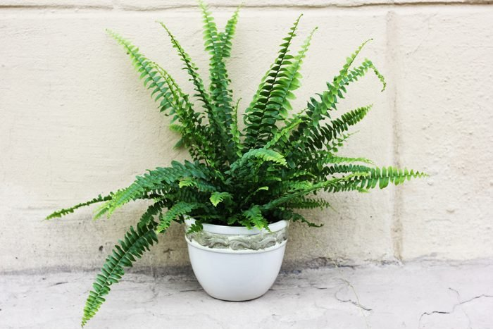 Nephrolepis in a pot