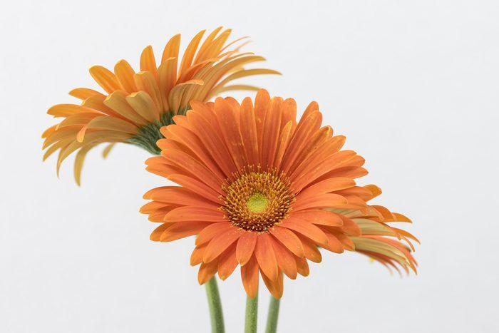 orange flowers of gerbera