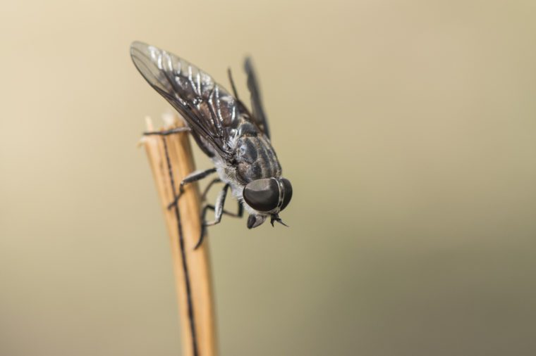 Horsefly perched on a stick on light brown background