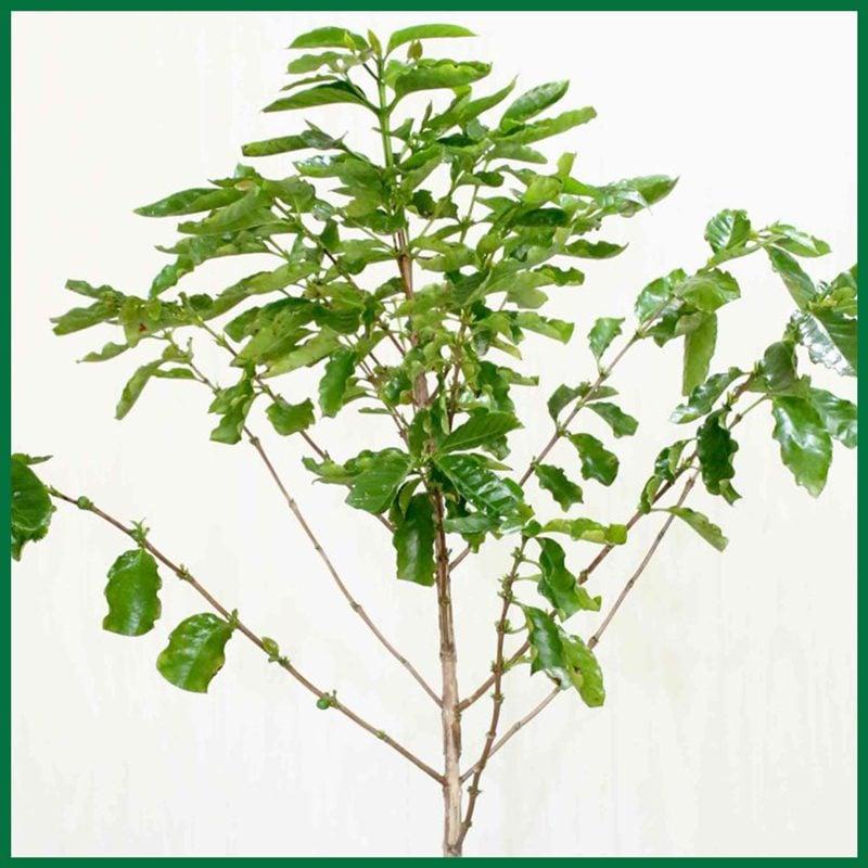 PlantOGram Coffee Plant