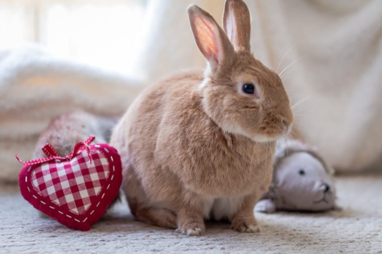 pet rabbit at home