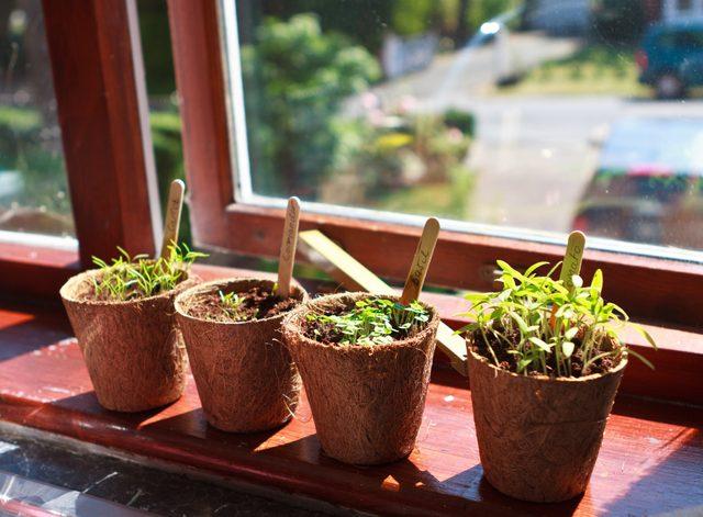 growing herb plants indoors