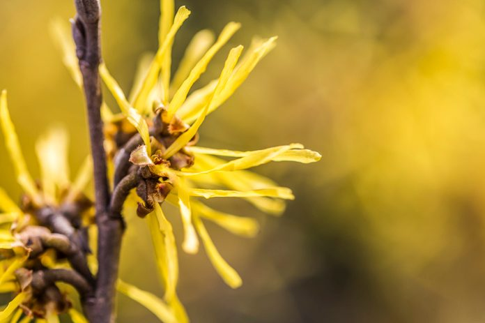 witch hazel plant close up detail shot