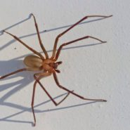 Brown Recluse Spider Bites—Everything You Need to Know