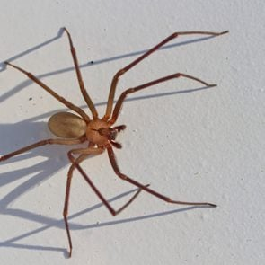 close up of brown recluse spider