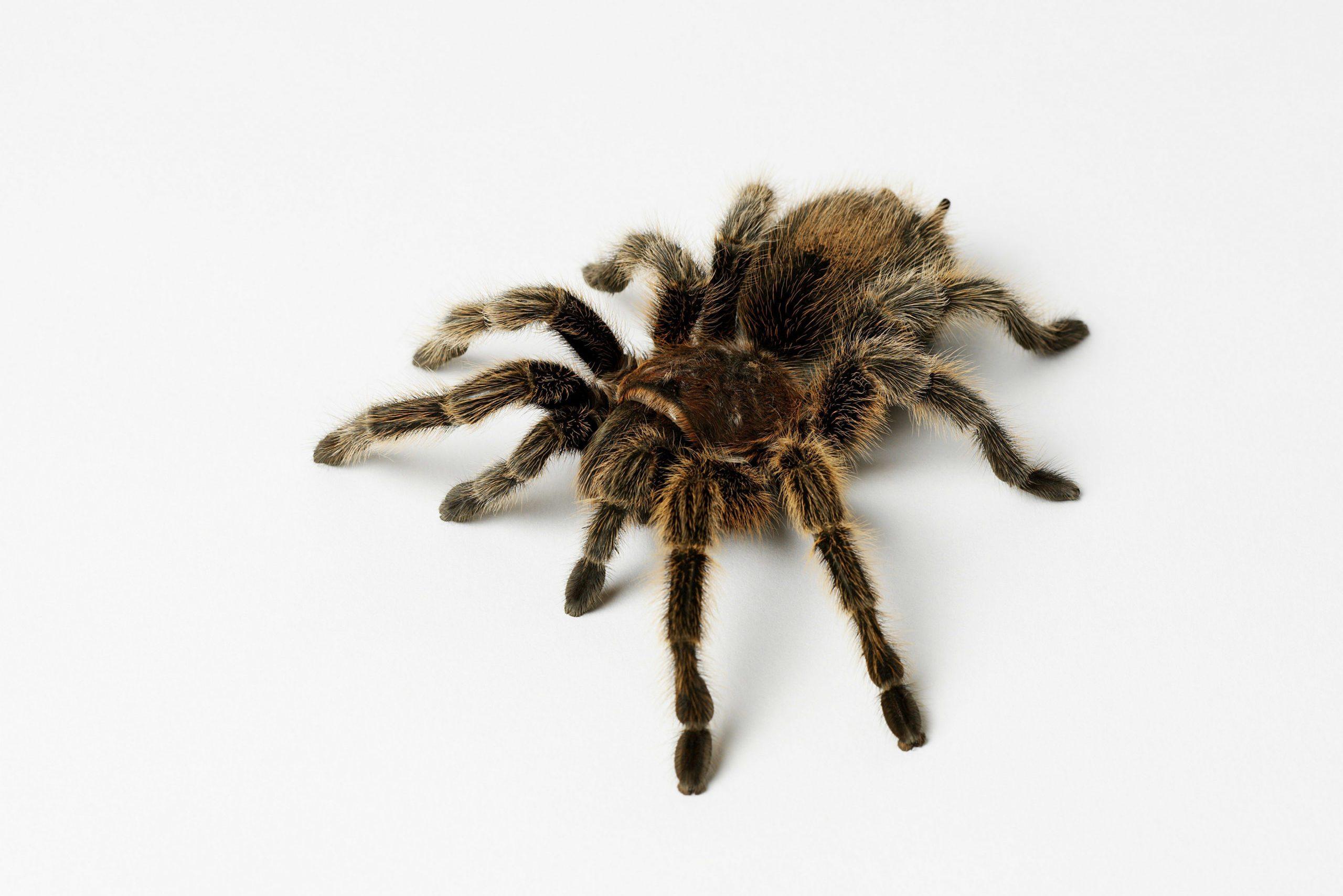 tarantula on white