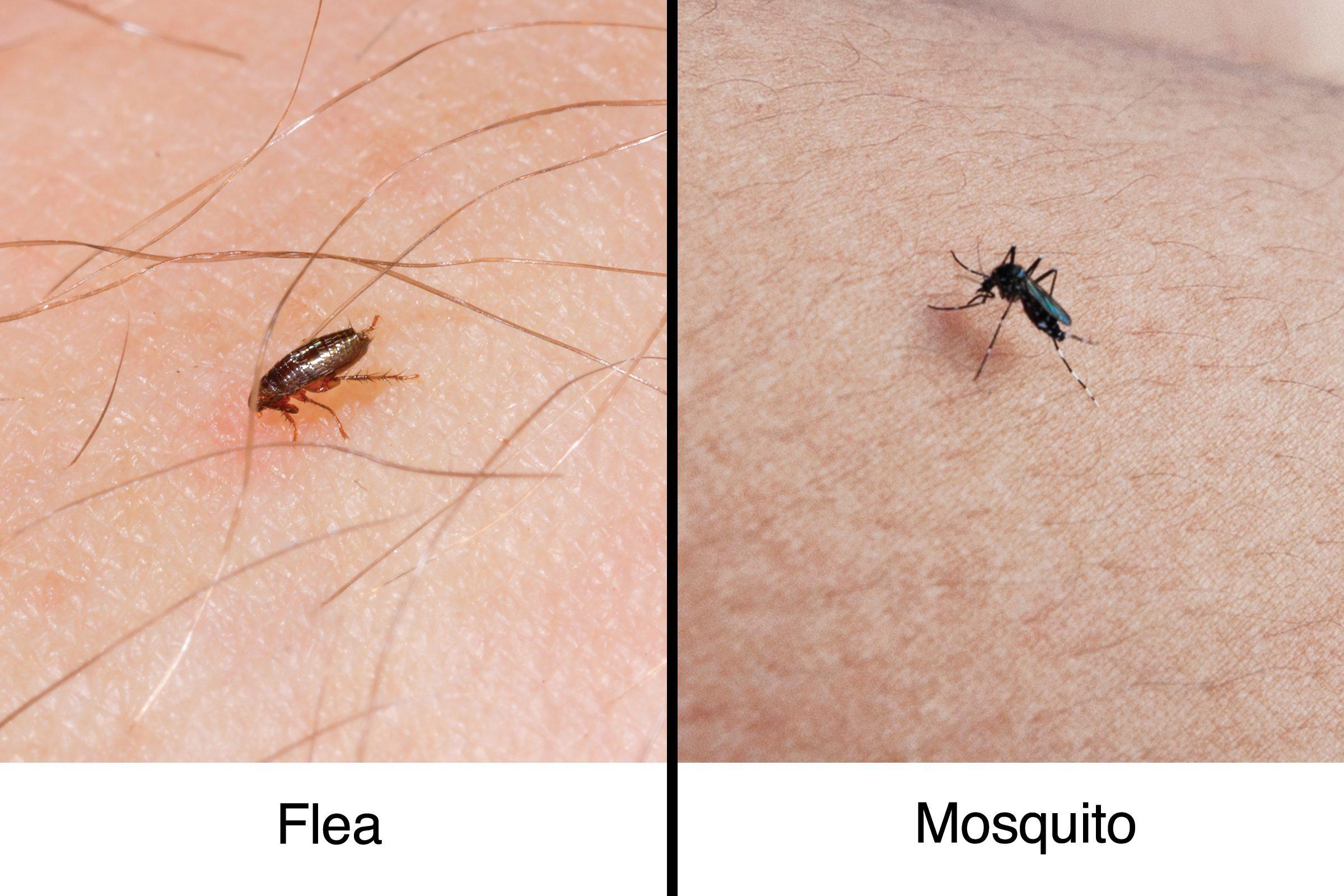 flea vs mosquito