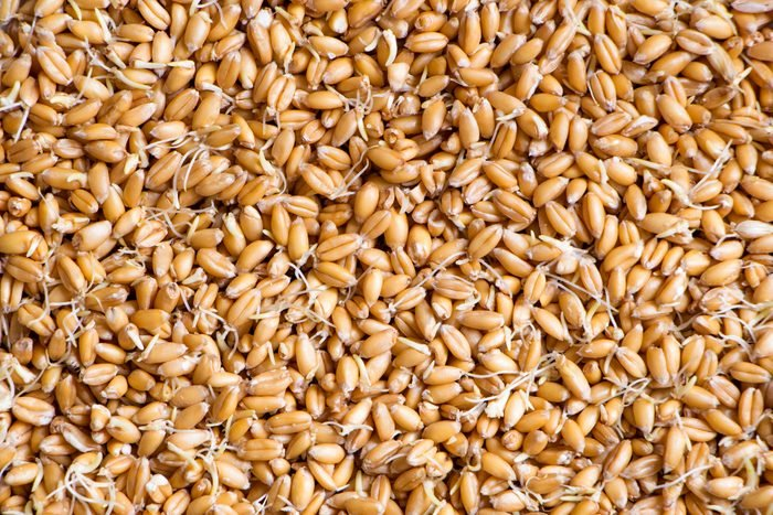 Wheat with sprouted germs background
