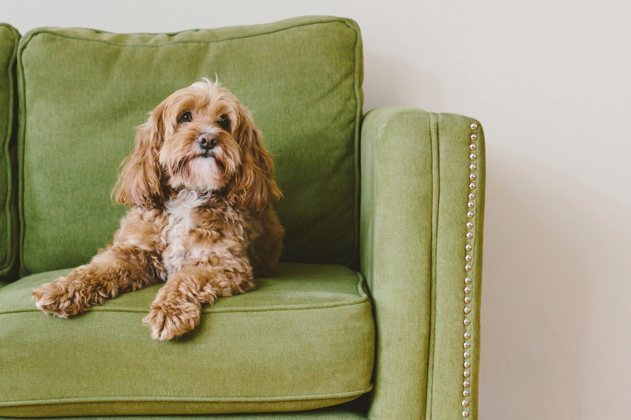 dog sitting on green couch at home