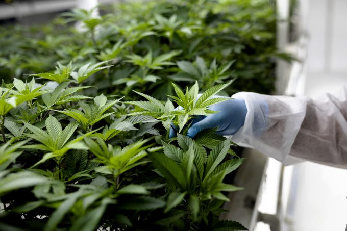 close up of a technician inspecting the leaves of cannabis plants