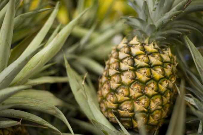 A ripe pineapple growing on the plant