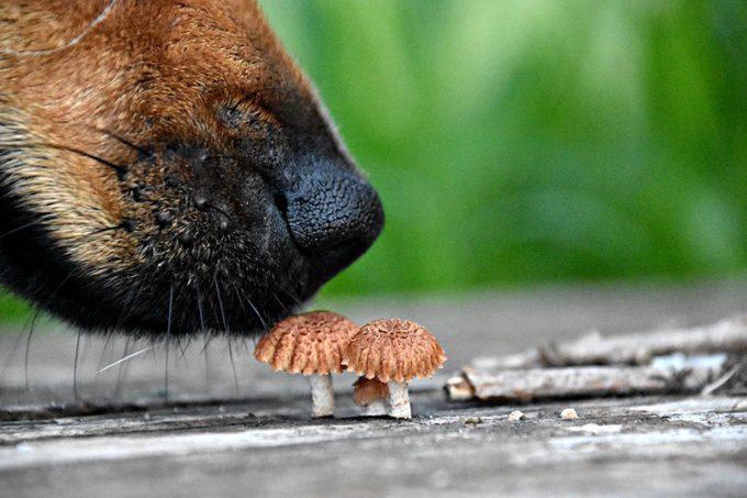 Close-Up Of Dog Smelling Mushrooms