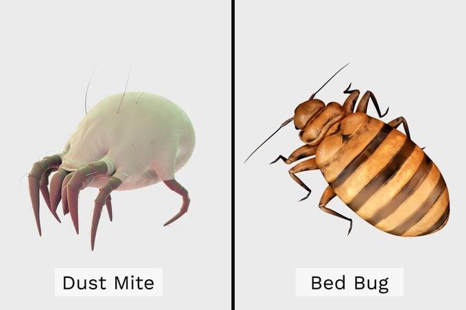 Dust Mite Vs Bed Bug Side By Side Illustration