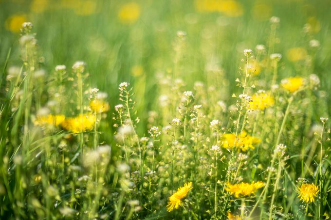 Alpine Meadow With Yellow Dandelions Flowers and flowery grass that causes allergy to some